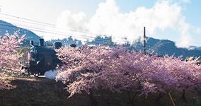 Kawazu-zakura VIII