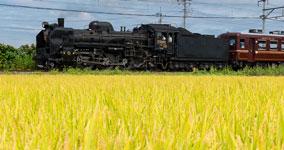 golden rice field V